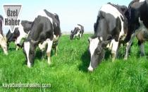 Başakşehir Kayaşehir İnek Koyun Keçi Manda Sütü ve Yoğurdu Köy Yumurtası Siparişi Sütçü